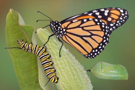 butterflycaterpillar